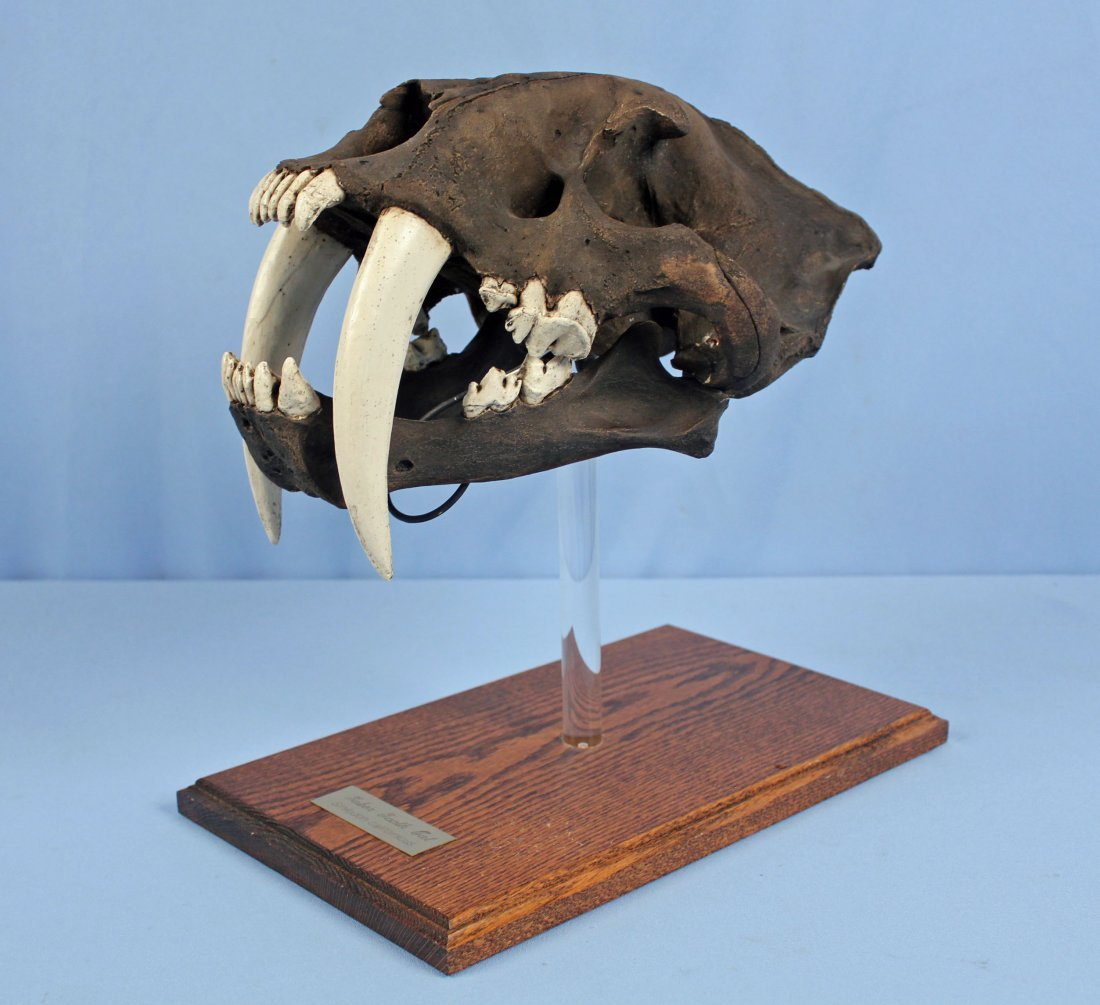 Saber-Toothed Cat Skull Replica with Tar Pit Finish