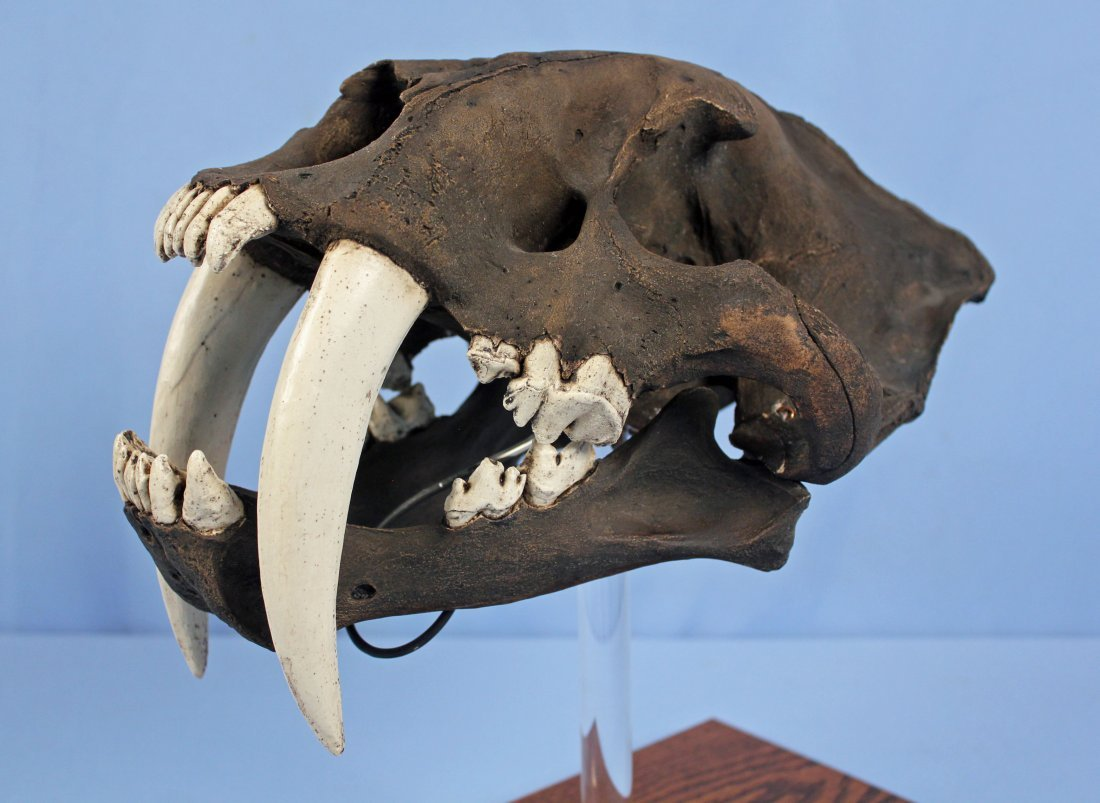 Saber-Toothed Cat Skull Replica with Tar Pit Finish - 2