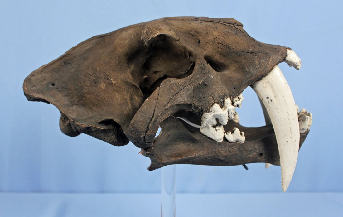 Saber-Toothed Cat Skull Replica with Tar Pit Finish - 3