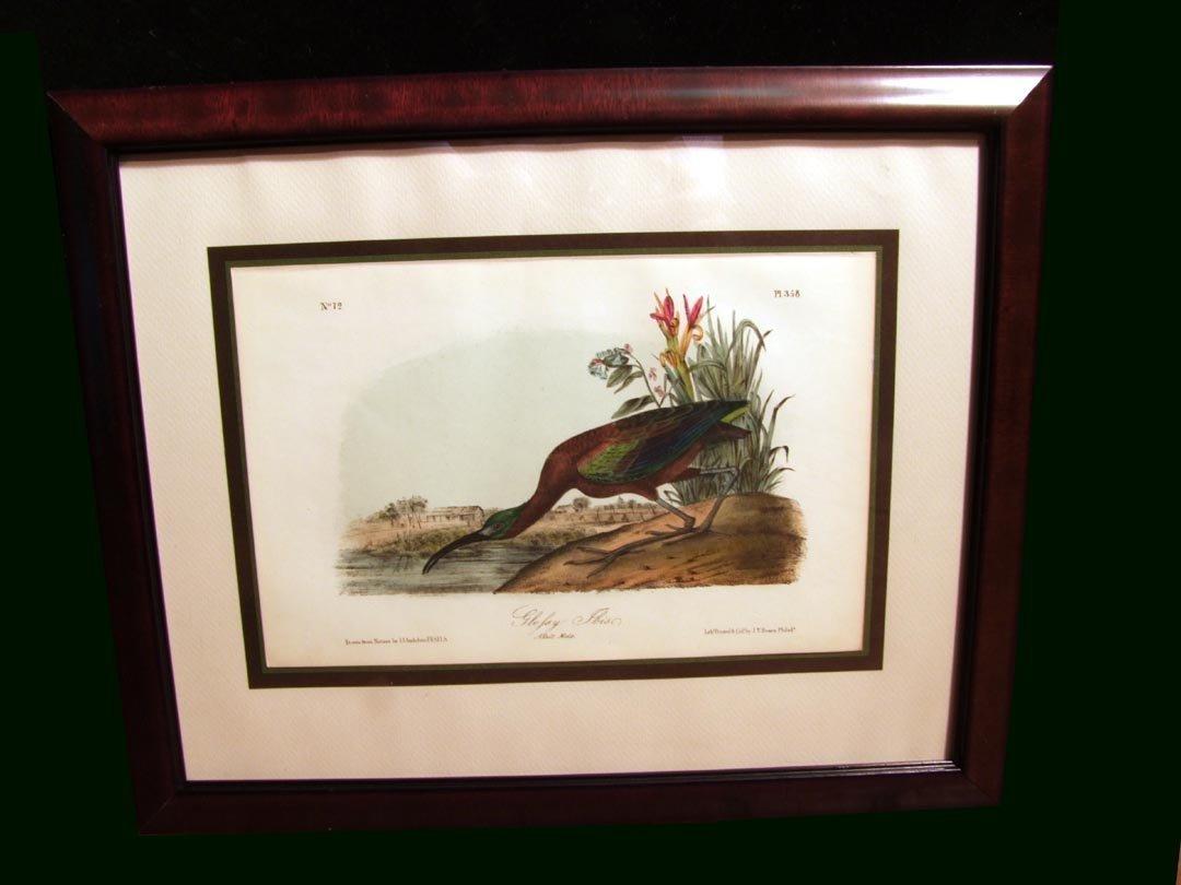 58: Audubon Lithograph Of The Glossy Ibis