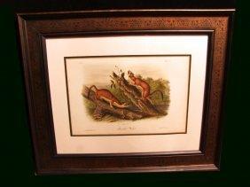 Audubon Lithograph Of Bridled Weasels