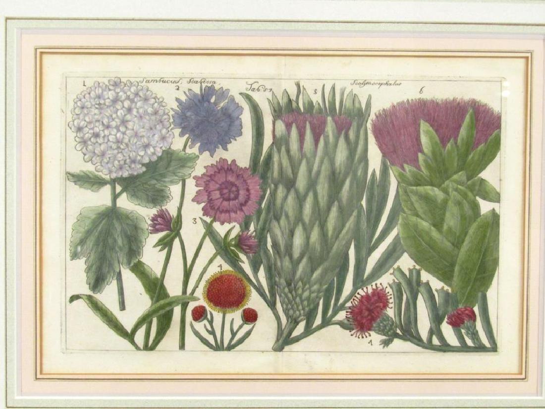 2 Hand Colored Botanical Prints - 2