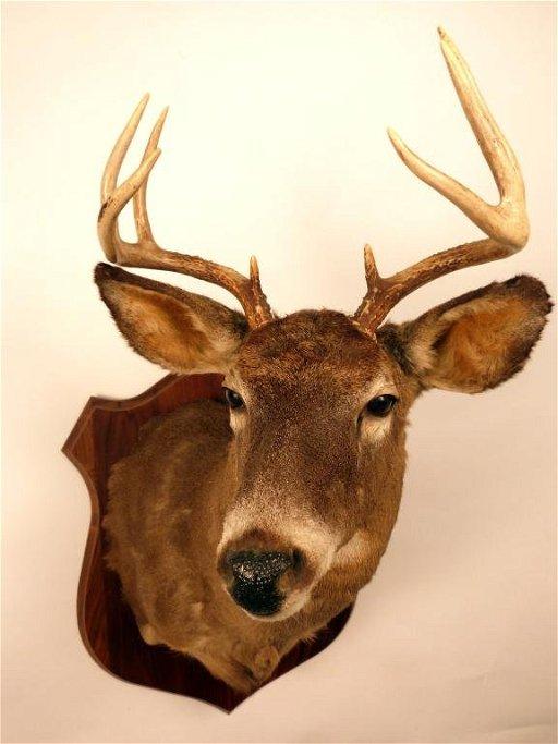 Deer Head Mount >> 405 White Tail Deer Head Mount On Board Apr 21 2012 Hutter