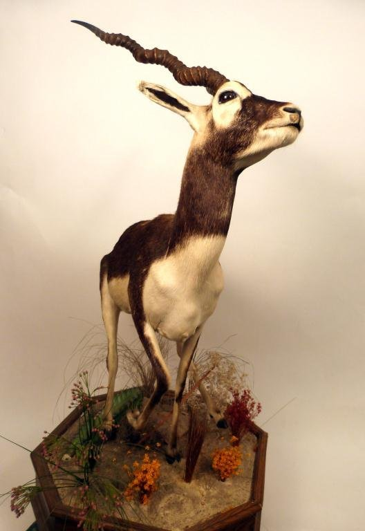 422: African Black Antelope Full Natural Mount