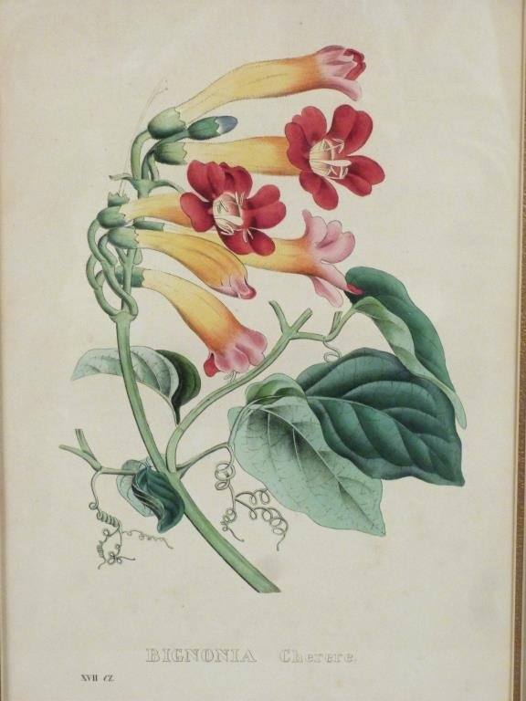 Pair Hand Colored Botanical Prints - 3