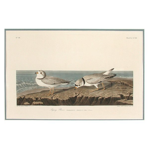 148: J.J. Audubon, Piping Plover