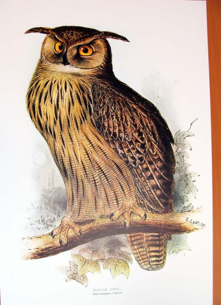 Edward Lear Color Lithograph of the Eagle Owl