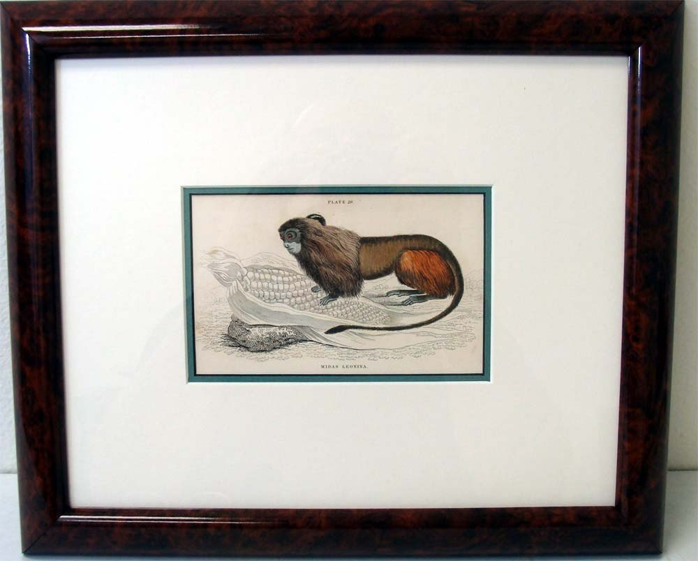 Antique 1840 Monkey Color Engraving Midas Leonina