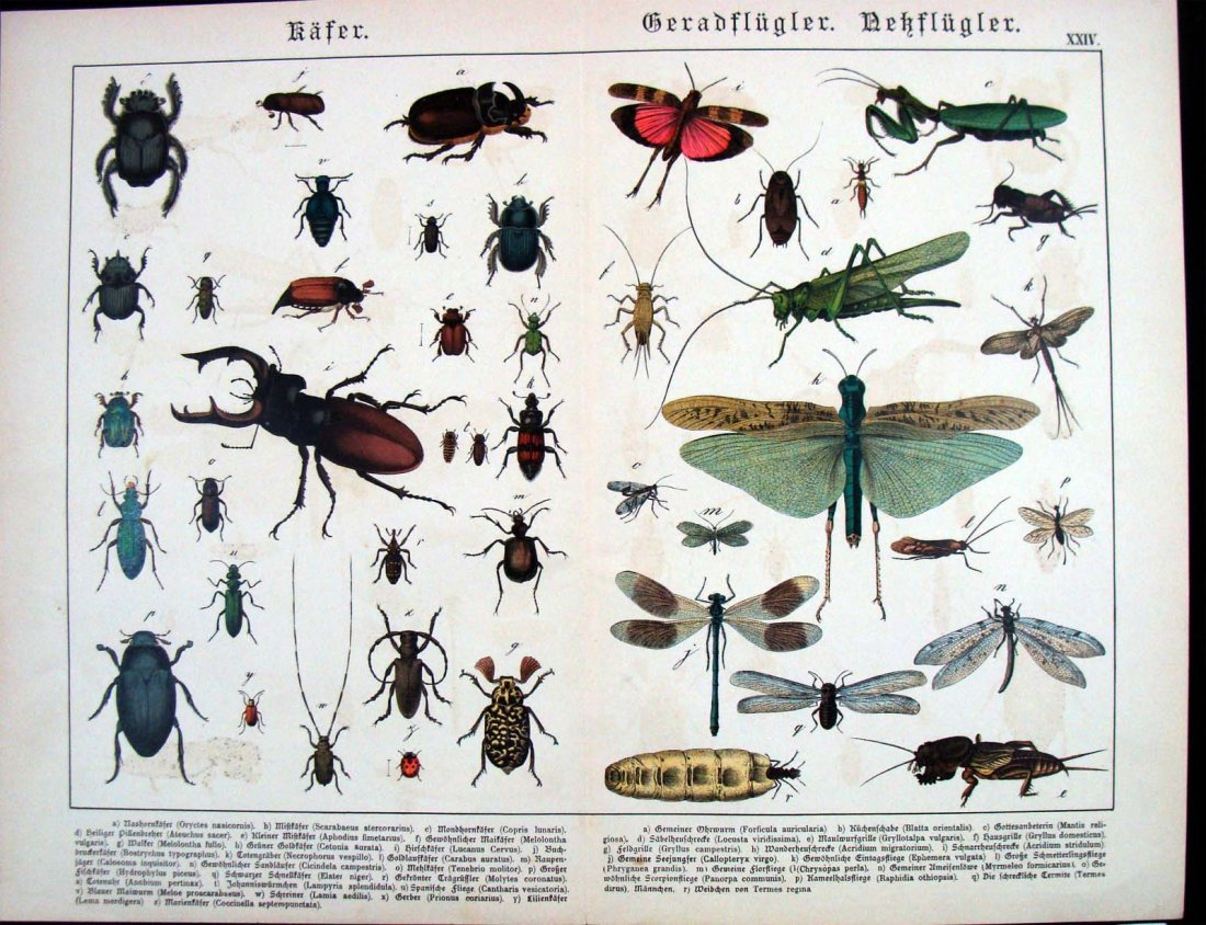 Natural History 1883 German Insects Study Chromolitho