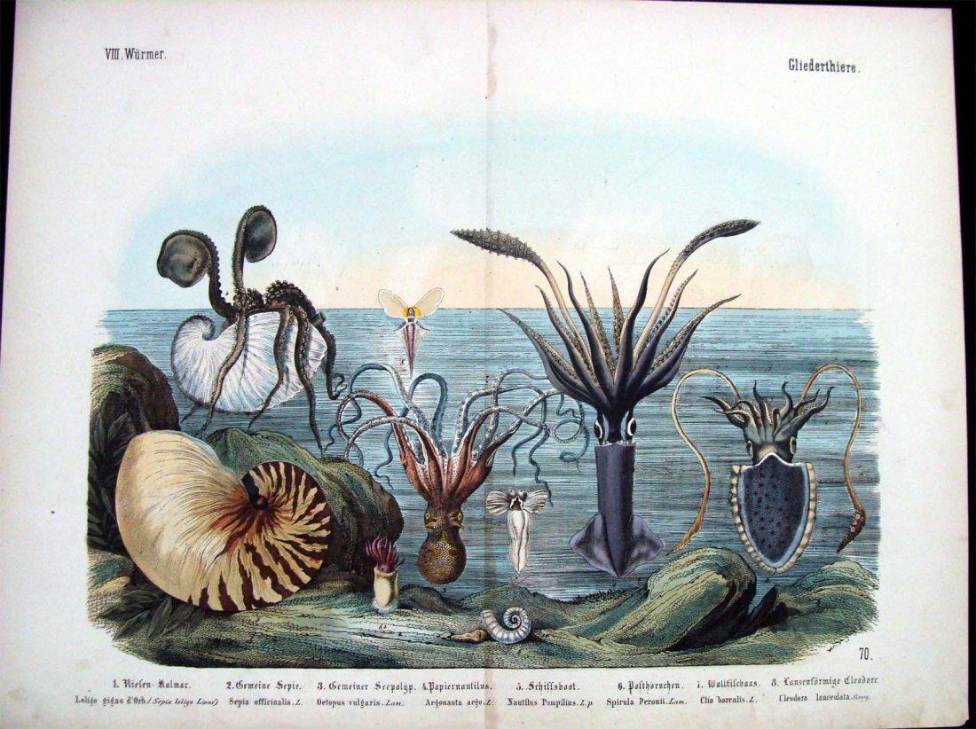 Natural History 1860 German Sea Life Study Hand Colored