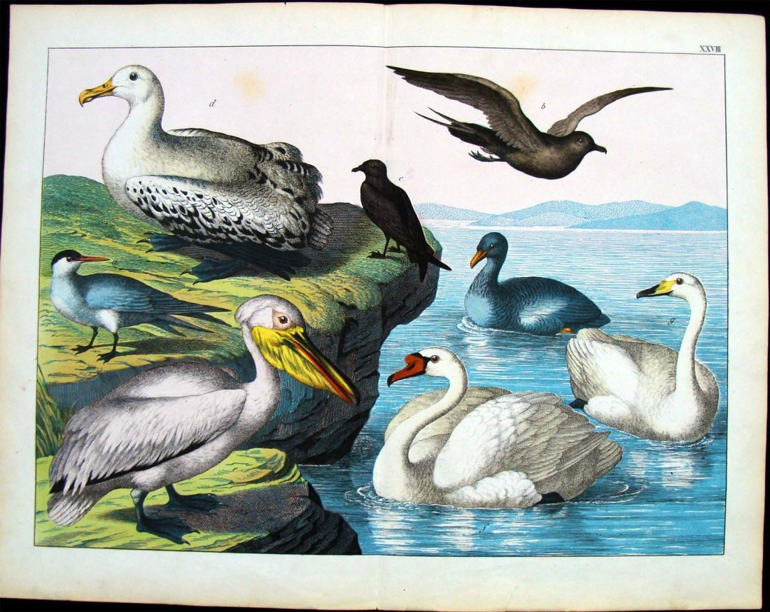 Natural History 1860 German Sea Birds Study Hand Colore