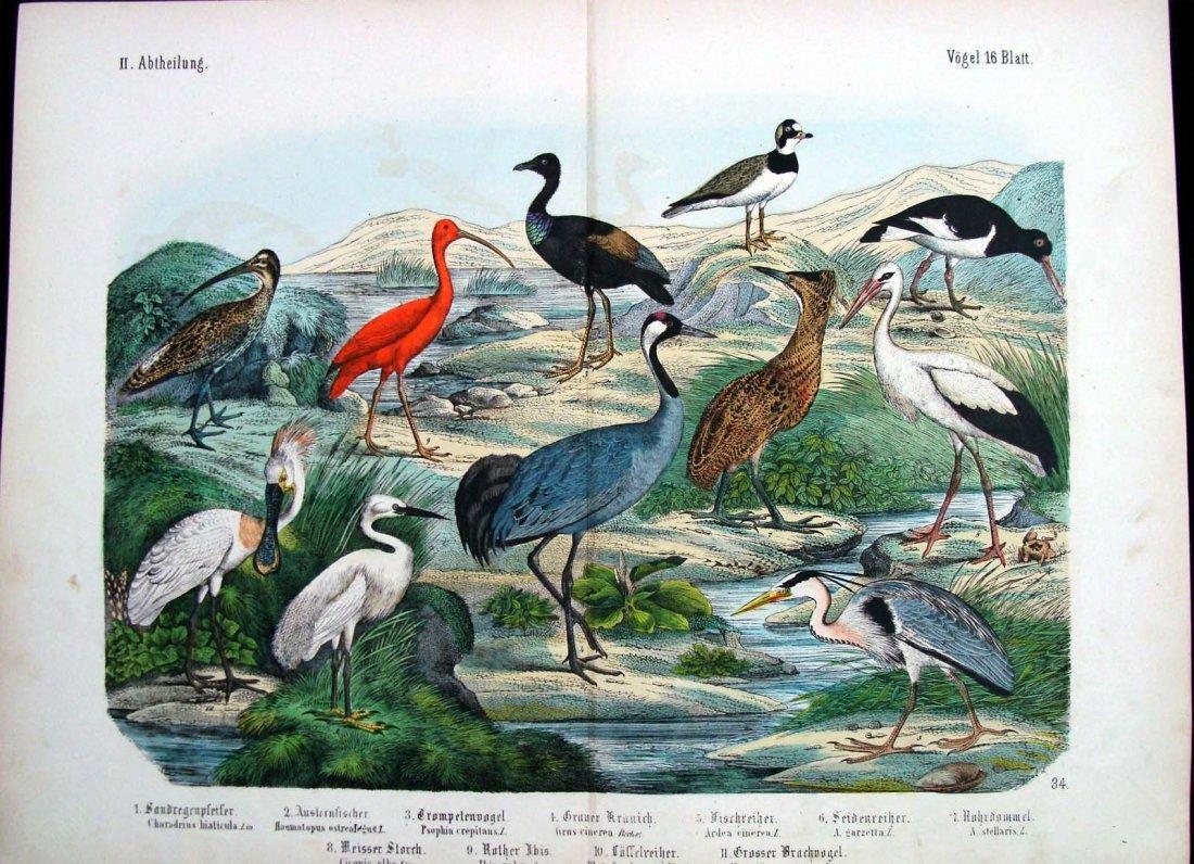 Natural History 1860 German Herons Study Hand Colored