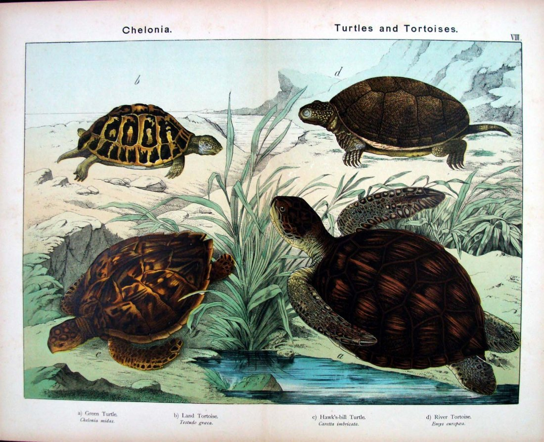 Natural History 1883 German Turtles Study Chromolithogr