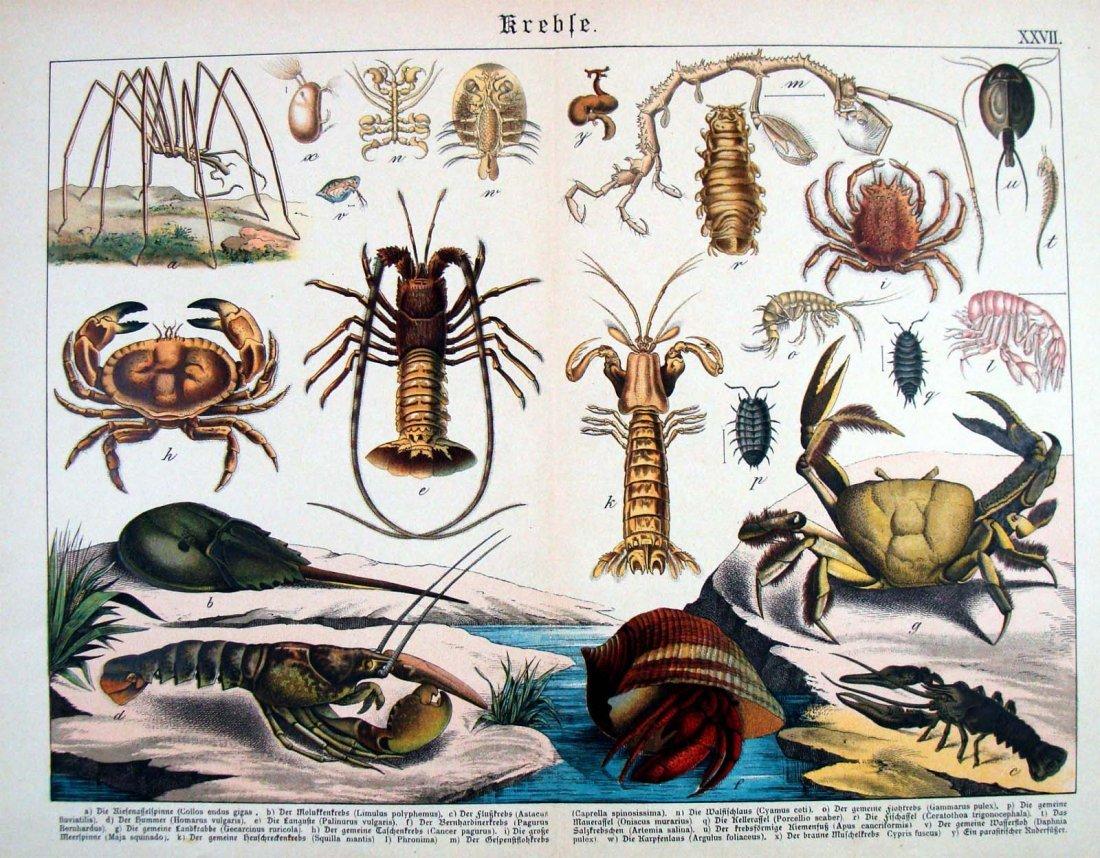 Natural History 1883 German Sea Life Study Chromolithog