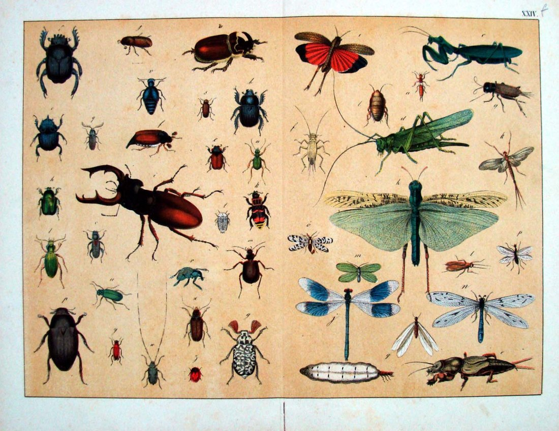 Natural History 1860 German Insects Study Stone Litho