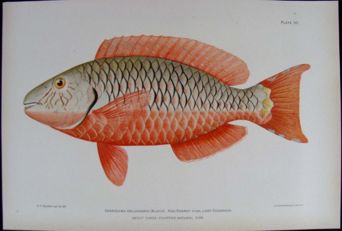 Fish of Puerto Rico: Color Chromo Lithograph. 1899