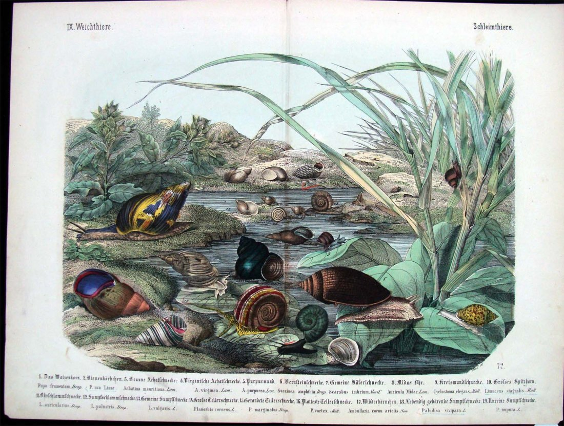 Natural History 1860 German Snails Study Hand Colored