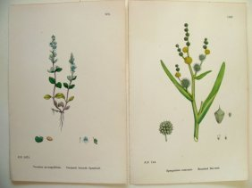 Lot Of 2 Hand Colored Botanical Study Of Plants 1880