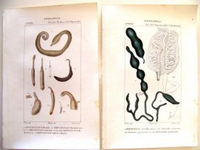 Lot Of 2 Hand Colored Zoologia Engraving 1820