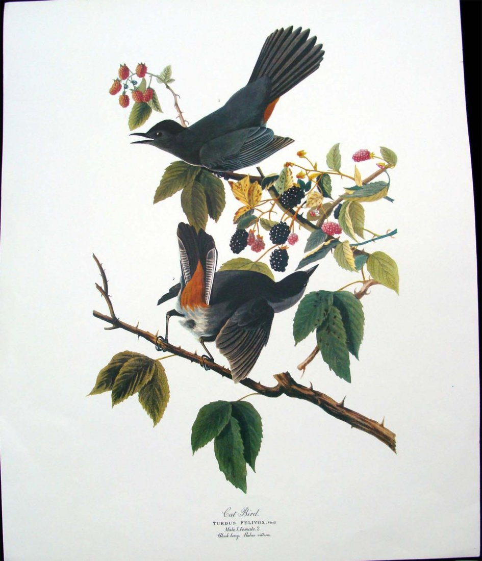 Cat Bird Blackberry Rubus Villosus Audobon