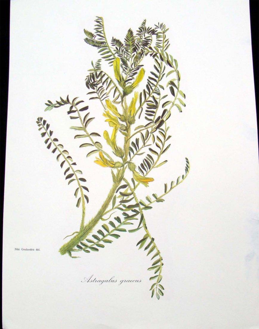 Astragalus Graecus 1960 Lithograph by Niki Goulandris