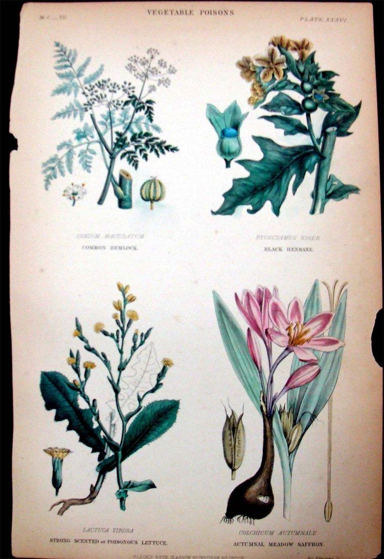 """1857 Antique Color Lithograph """"Vegetable Poisons"""""""