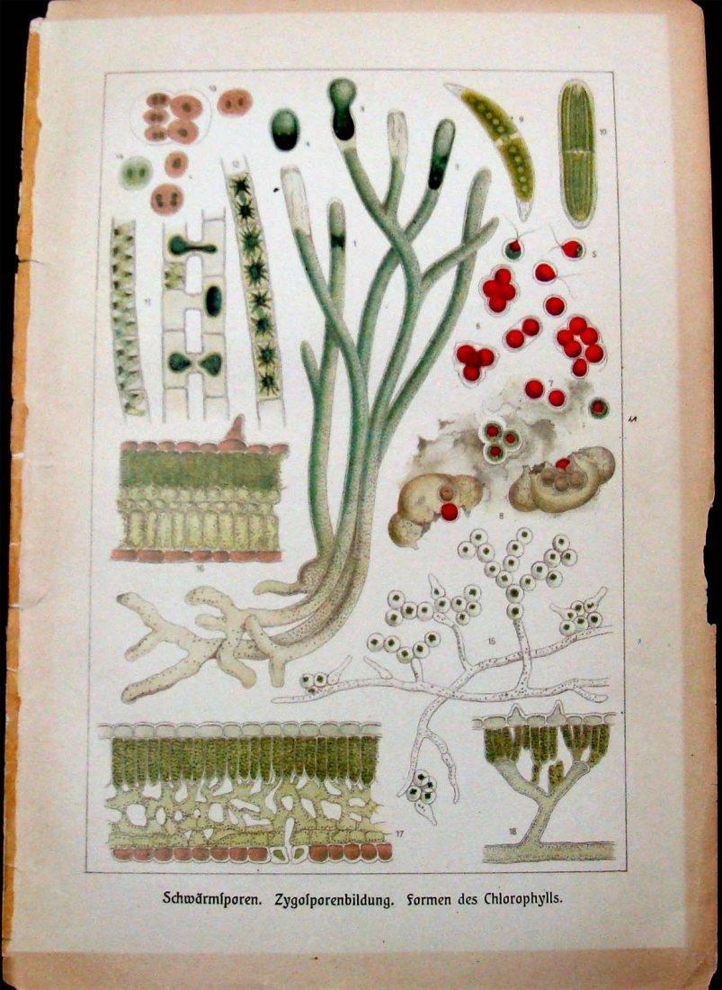 Antique Lithograph Formen des Chlorophylls Germany 1875