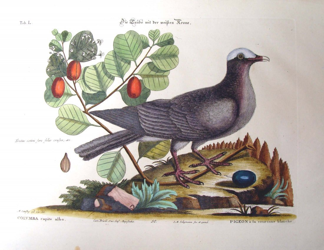 Catesby Hand Colored Engraving 1770 Pigeon White Crown