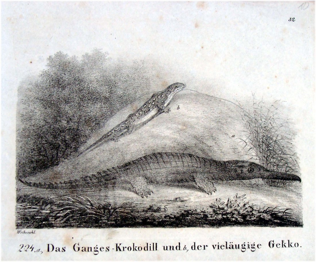 Gecko & Crocodile German 1830 Lithograph