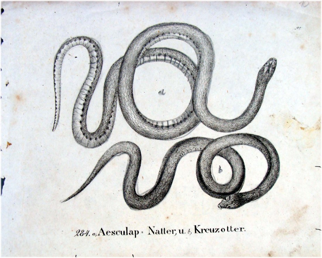 Snakes German 1830 Lithograph by Richter