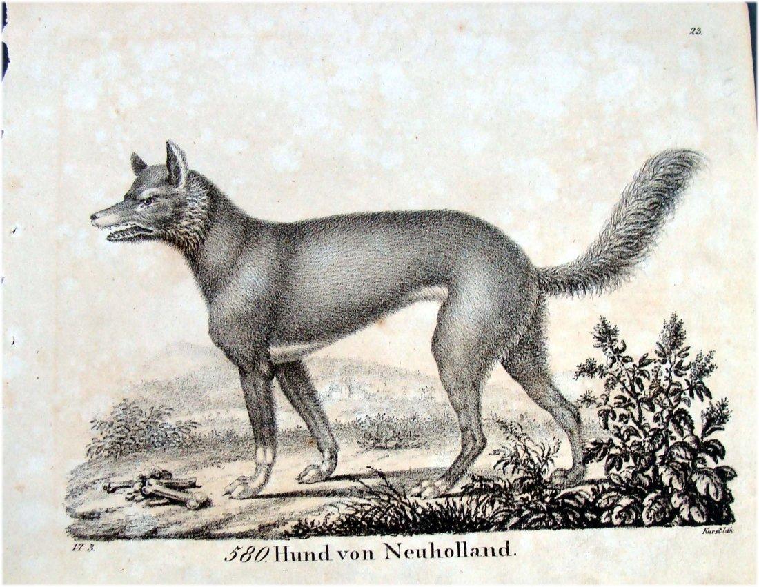 Hund Von Neuholland Dingo German 1830 Lithograph