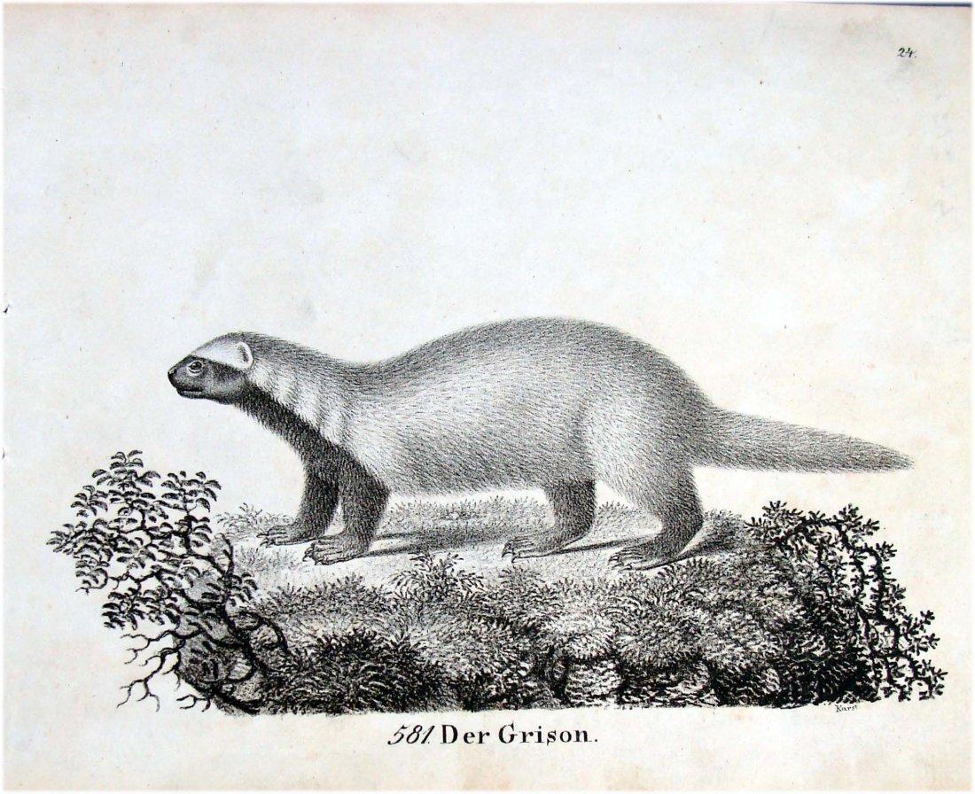 Der Grison Marten German 1830 Lithograph by Richter