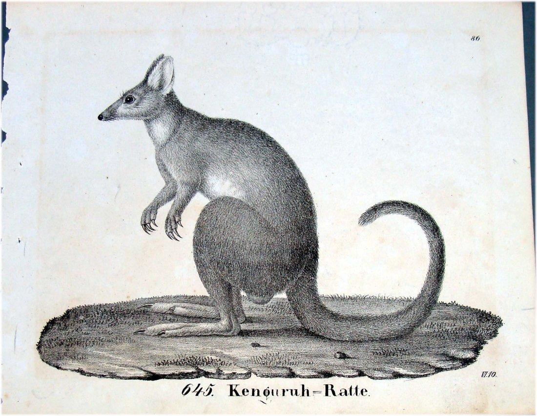 1830 Lithograph Kangaroo Rat By Richter