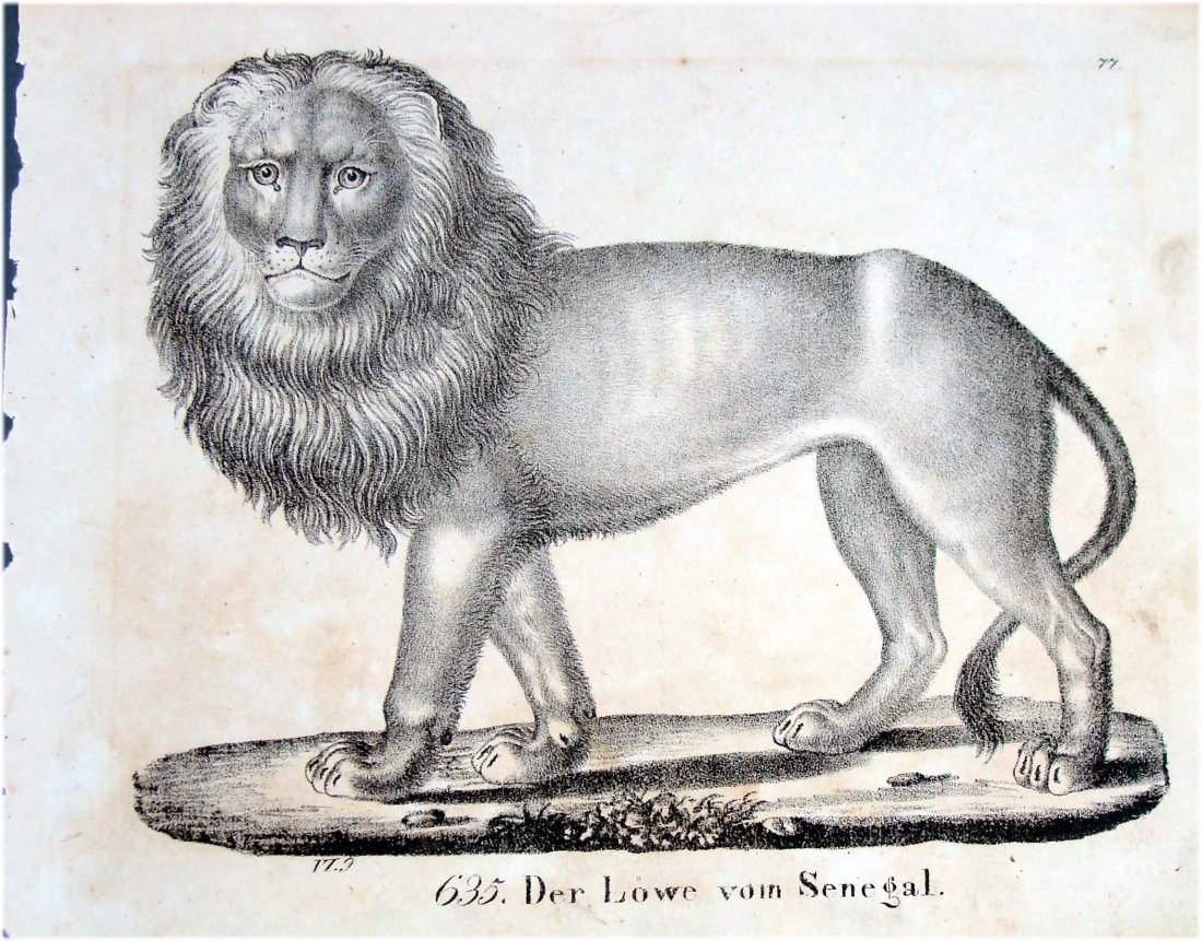 Senegal Lion 1830 Lithograph by Richter