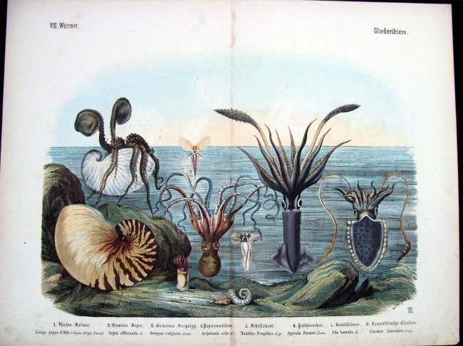 Natural History 1860 German Sea Life Study Hand Colored