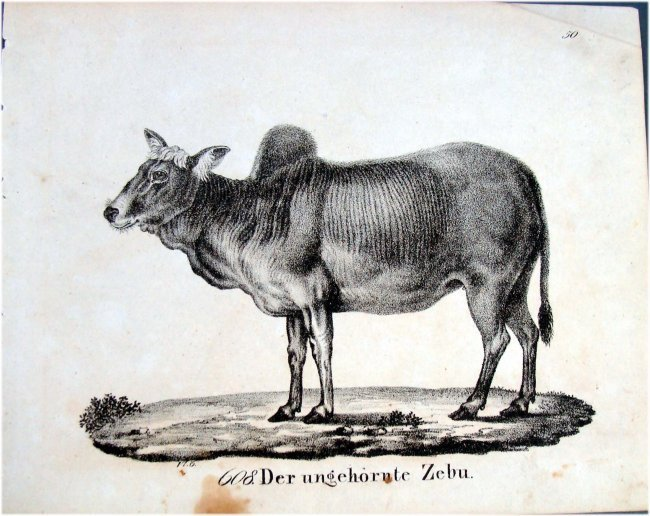 German 1830 Lithograph #200 Brahma Bull by Richter