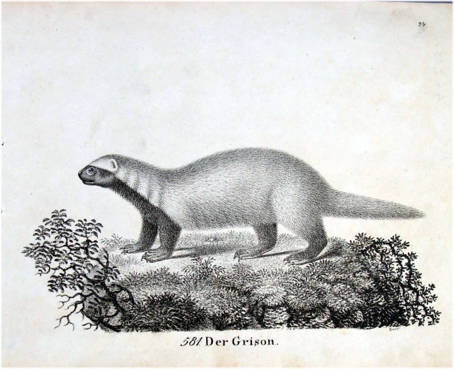 Der Grison Marten German 1830 Lithograph by Richter