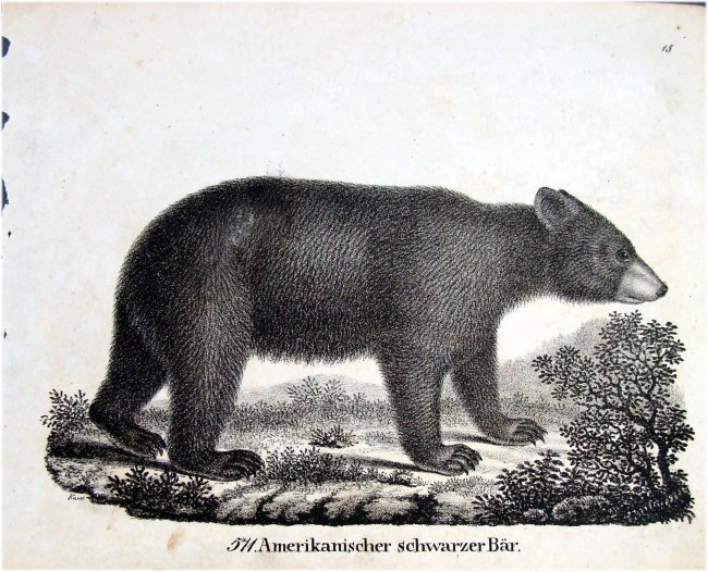 Black Bear German 1830 Lithograph by Richter