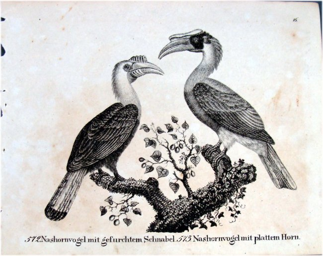 Hornbills German 1830 Lithograph by Richter