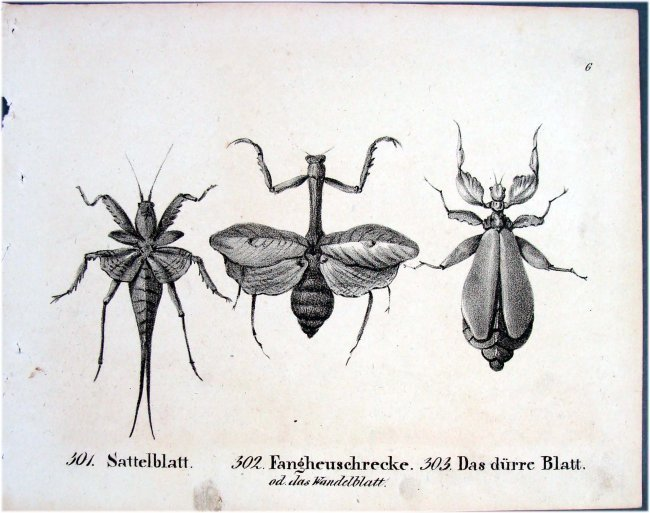 Three Wasps German 1830 Lithograph by Richter