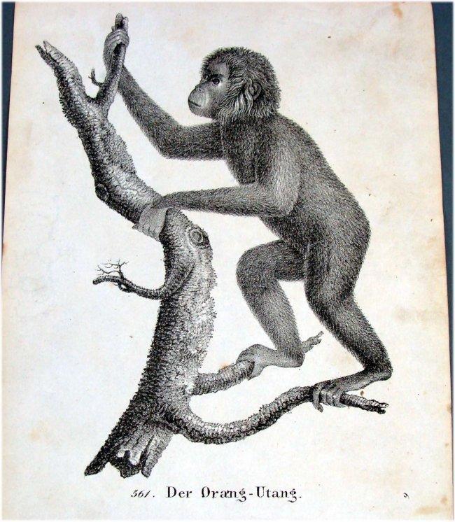 Orangutan German 1830 Lithograph by Richter