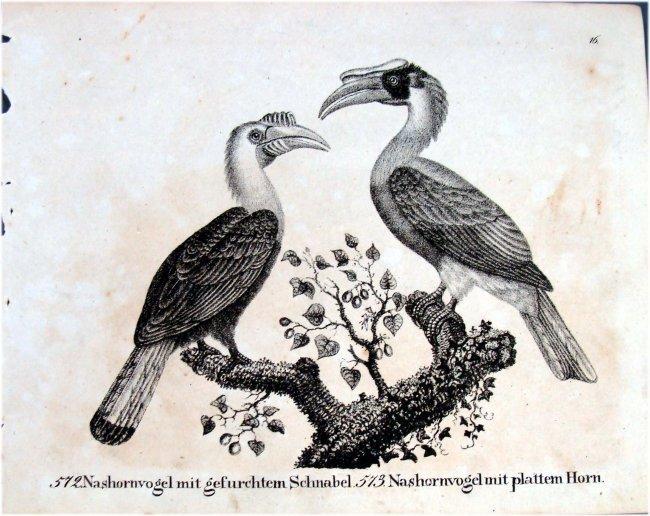 Hornbills German 1830 Lithograph by Richter