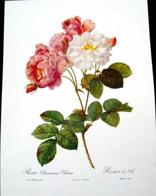 Rosa Damascena Celsiana French Lithograph 1970