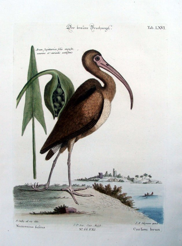 Catesby Hand Colored Engraving 1770 The Brown Curlew, p