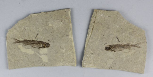 Ancient Chinese Fish Skeleton Stone Fossils Pair