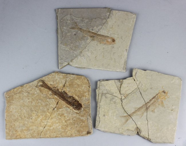 Set of 3 Chinese Ancient Fish Skeleton Stone Fossils