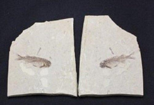 Ancient Fish Skeleton Stone Fossils Pair