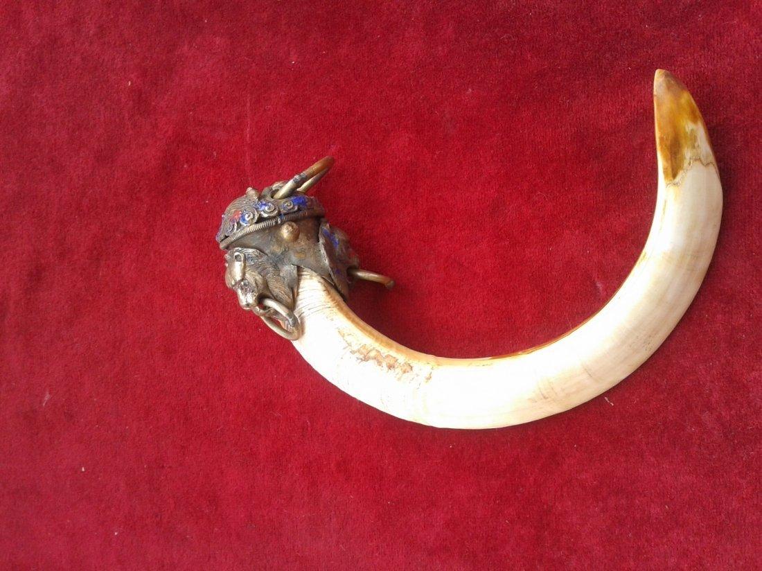 Wild boar teeth