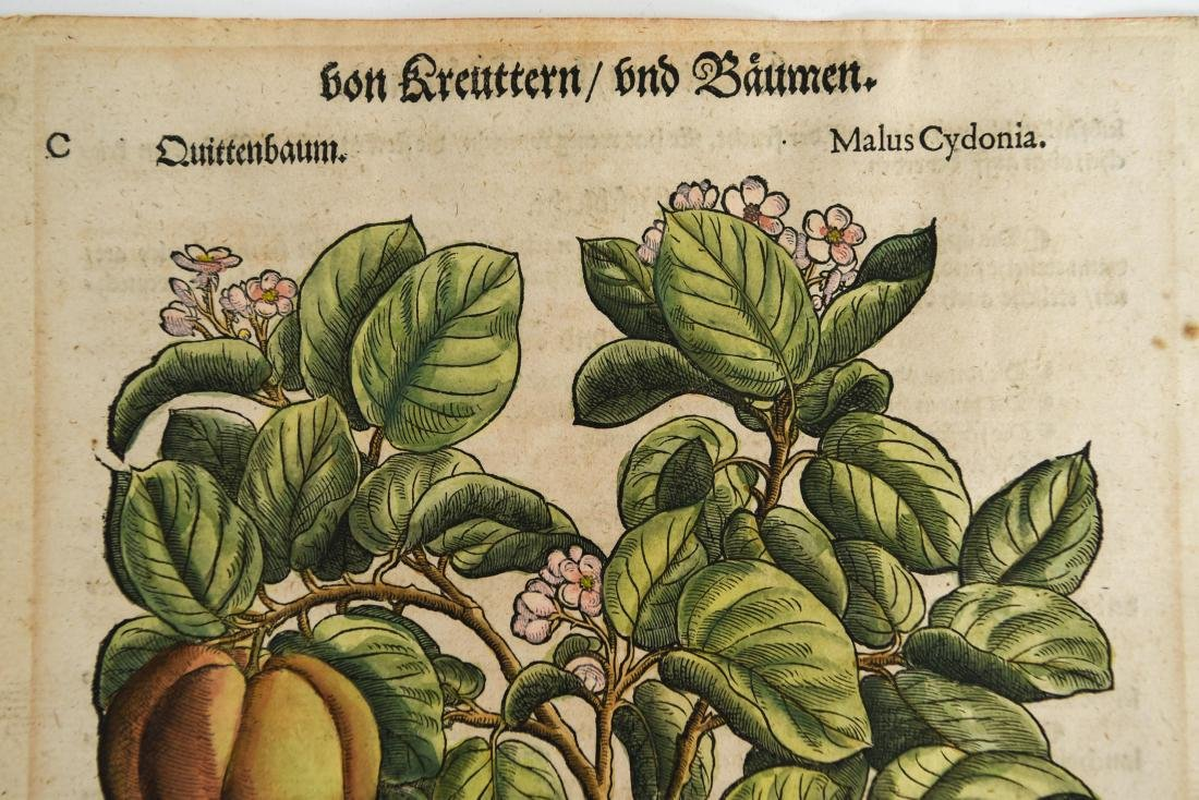 16TH CENTURY GERMAN WOODCUT OF APPLES - 2