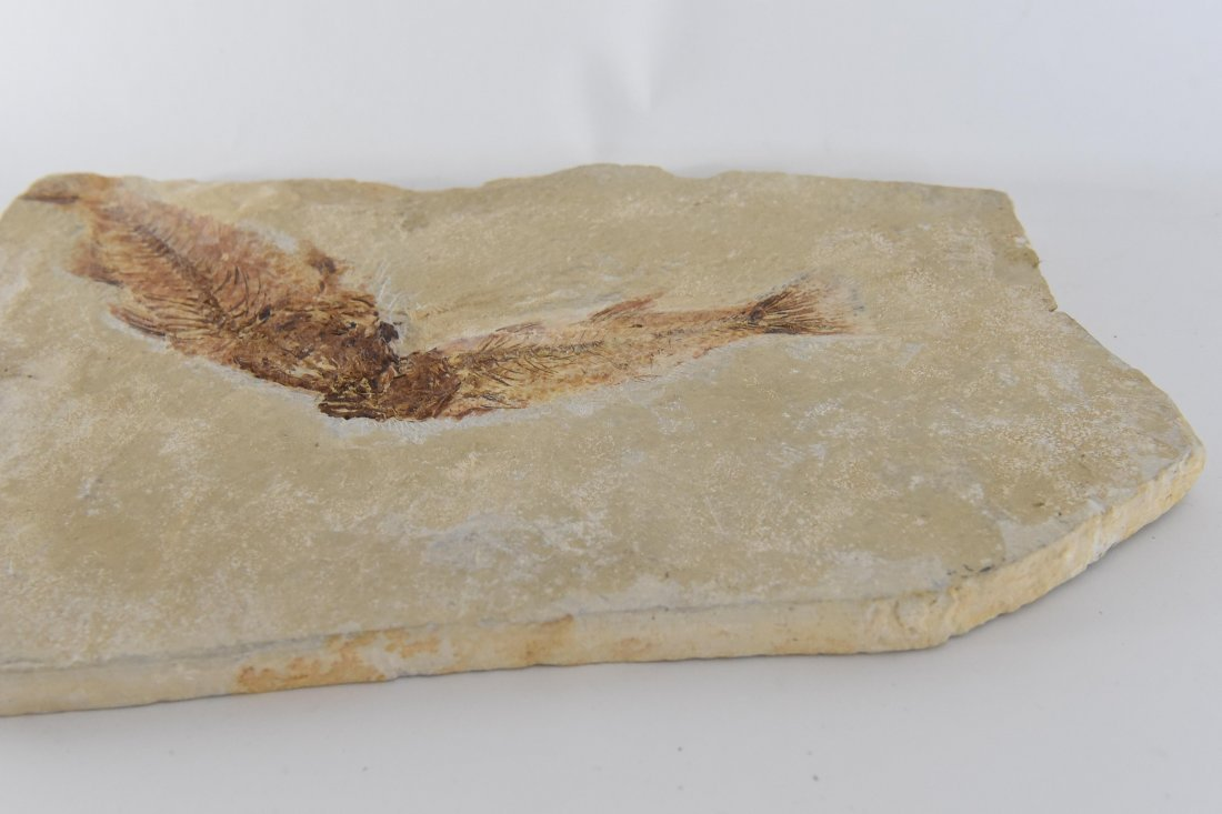 MIOPLOSUS DOUBLE FISH FOSSIL - 4
